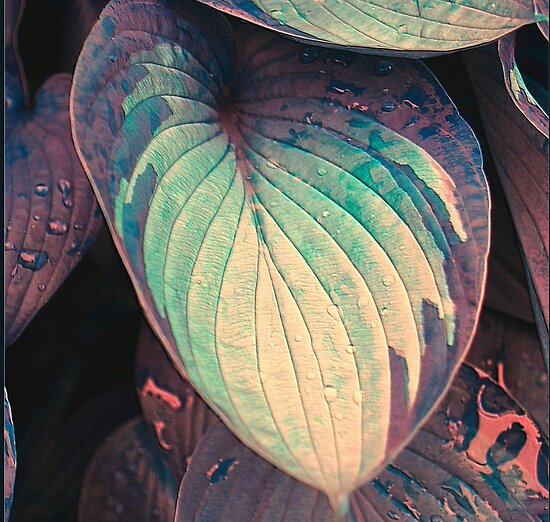 Hosta Leaf with Raindrops by Sheila Laurens