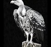Ruppell's Vulture by dunawori
