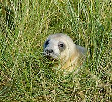 Seal pup in the grass at Donna Nook by Mark Baldwyn