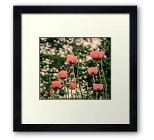 Pink Poppy in late everning light Framed Print