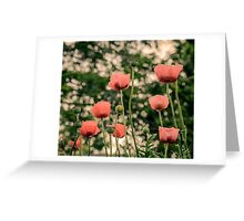 Pink Poppy in late everning light Greeting Card