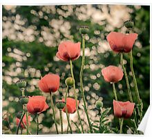 Pink Poppy in late everning light Poster