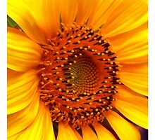 Sunflower 1 by Jane Holt