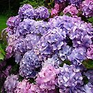 Beautiful Hydrangea Blossoms by Kathryn Jones
