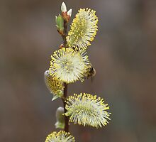 Catkins by kenmay