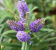 Hebe-Evergreen Veronica by kenmay