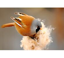 Bearded Tit Photographic Print
