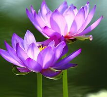 Waterlilies by CBoyle