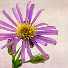 Wild Aster Blossom - Macro  by Sandra Foster