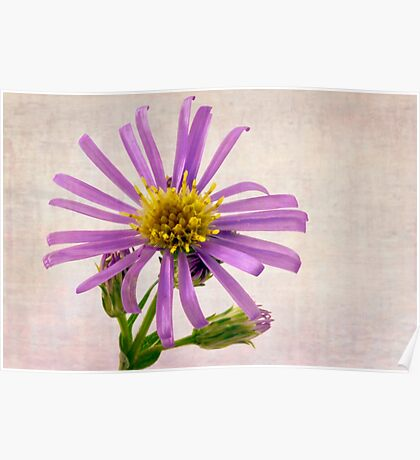 Wild Aster Blossom - Macro  Poster