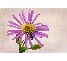 Wild Aster Blossom - Macro  Photographic Print