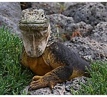 Land Iguana Photographic Print
