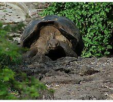 Galápagos Tortoise Photographic Print