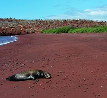 Sea Lion on Red Beach by dare2go