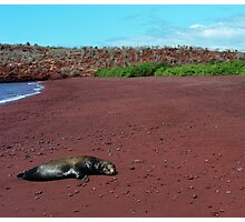 Sea Lion on Red Beach Photographic Print