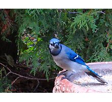 Blue Jays and Peanuts, in the garden and the game! Photographic Print