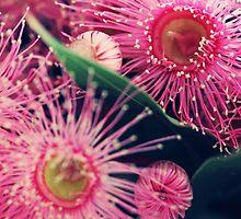 Pink Gum Nut Tree Flowers by chunkymonkey