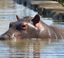 Douglas - the orphaned hippo by Tessa Manning