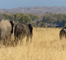 Elephants in afternoon light by Tessa Manning