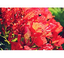 Red Fire Tree Flowers Photographic Print