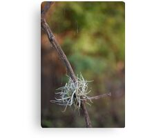 Moss Ball Canvas Print