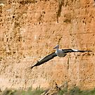 Pelican on the Murray River by Murray Wills