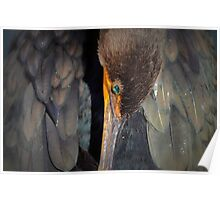 Resting Double-crested Cormorant Poster