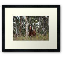 Bay Brumby Stallion Framed Print