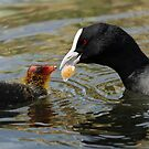 Australian Coot feeding a Chick by Kathy Reid