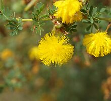 Acacia in Baldivis by kalaryder