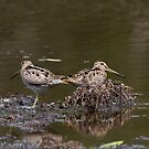 Snipe Duo by byronbackyard
