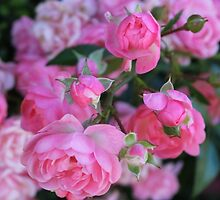 Pink Roses Flowers by chunkymonkey