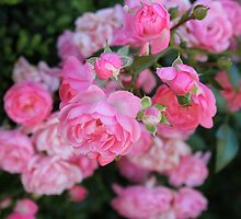 Pink Rose Flowers by chunkymonkey