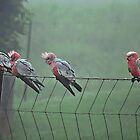 Galah's on a Fence by Tracie Louise