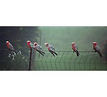 Galah's on a Fence Photographic Print