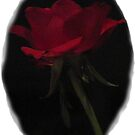 Single Red Rose by KMorral