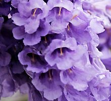 Jacaranda Tree Flowers by chunkymonkey