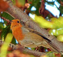 Mr Robin by mhphotographyuk