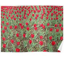 Lots of Red Tulips Poster