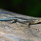 Five-lined skink by Kate Farkas