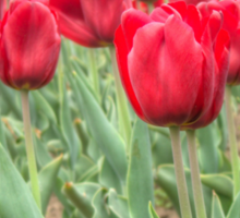 Lots of Red Tulips 3 Sticker