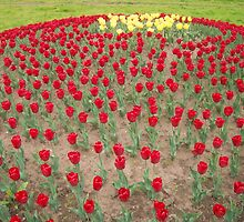 Lots of Red Tulips 4 by AnnArtshock