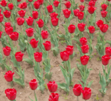 Lots of Red Tulips 4 Sticker