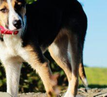 Jess, Border Collie Puppy Sticker