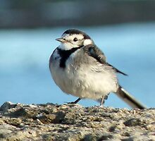 Wagtail by lynn carter