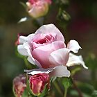 Romance Rose by Joy Watson