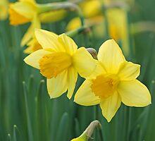 Daffodils. by Alyson Fennell