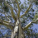 Eucalypt I - Tall Timber series by Darryl Beer