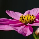 Pink Cosmos  by Nicole  Markmann Nelson