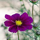 Summer Flower  by Nicole  Markmann Nelson